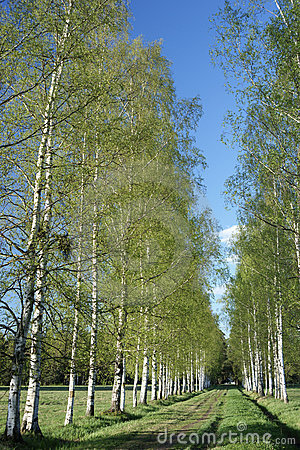 Spring birches alley
