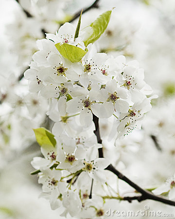 Free Spring Blooming Bradford Pear Blossoms Royalty Free Stock Images - 21555429