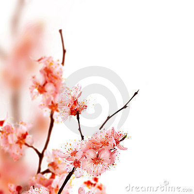 Free Spring Blossom Royalty Free Stock Images - 11636279