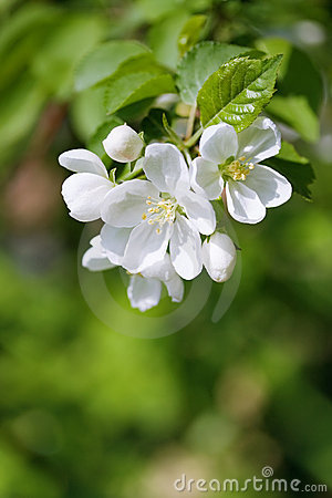 Spring  blossom.Apple brunch.