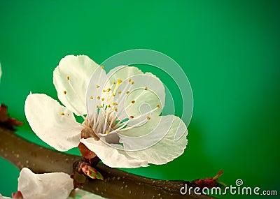 Spring blossom on green