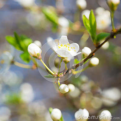 Free Spring Blossoming White Spring Flowers Royalty Free Stock Photo - 54860385