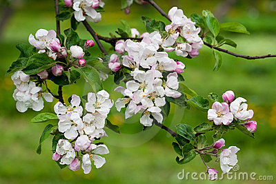 Spring blossoms apple branch