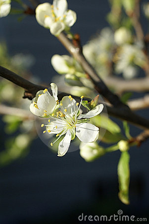 Spring blossoms, plum tree