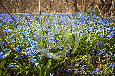 Images of early blue spring flowers spacehero spring blue flowers royalty free stock image image 30898436 mightylinksfo