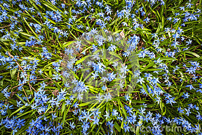 Spring blue flowers wood squill
