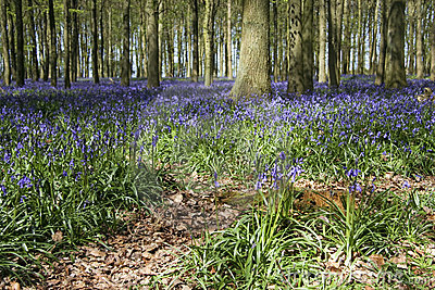 Spring bluebell woods english countryside