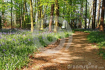 Spring Bluebells in an English Beech Wood