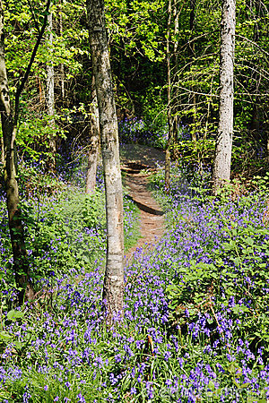 Spring Bluebells in an English Wood
