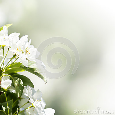 Spring border or background with white blossom with natural ligh