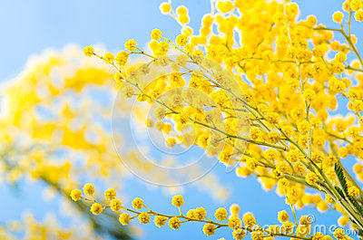 Branch of a blossoming acacia tree