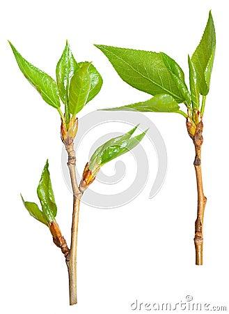 Spring branch of poplar