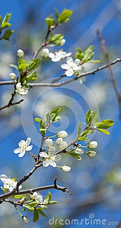 Spring branches of cherry tree