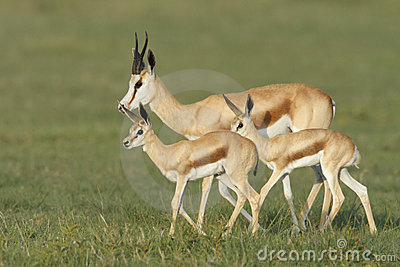 Spring buck family