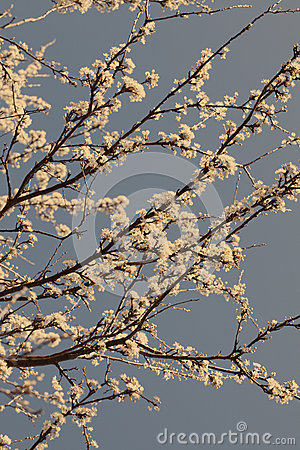 Free Spring Cherry Blossom Tree On A Sunny  Day With A Sepia Filter Royalty Free Stock Image - 61682486