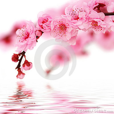 Free Spring Cherry Flowers Royalty Free Stock Images - 8146429