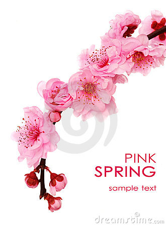 Free Spring Cherry Flowers Stock Photo - 8182310