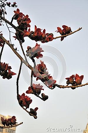 Spring crimson kapok flowers