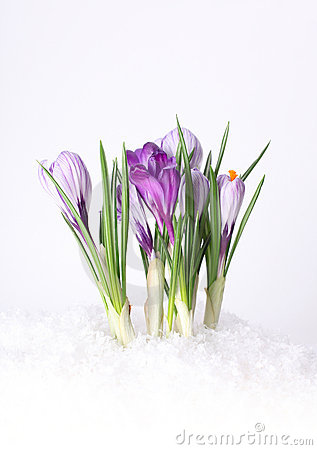 Spring Crocus Flower In Snow Stock Photography - Image ...