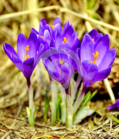 Free Spring Crocus Flowers Royalty Free Stock Photos - 112768918
