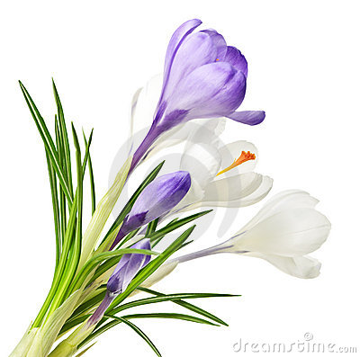 Free Spring Crocus Flowers Stock Images - 14703314
