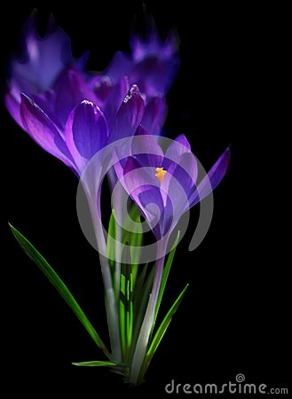 Free Spring Crocus Flowers, Purple Crocuses Royalty Free Stock Photo - 112208845