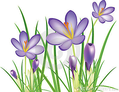 Spring crocus flowers, purple saffron
