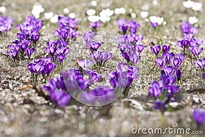 Spring crocuses in bloom