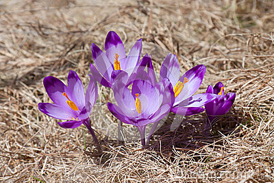 Spring Crocuses Bouquet