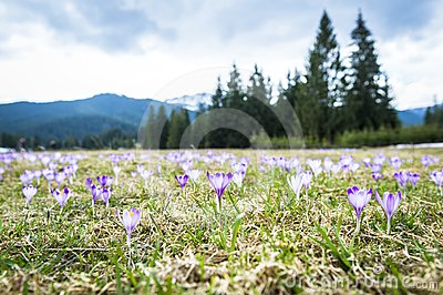 Spring crocuses in mountains