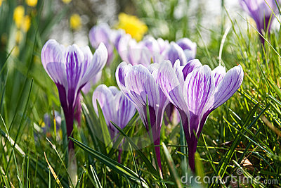 Spring crocuses opening amongst the grass