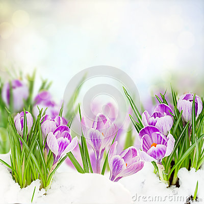 Free Spring Crocuses Under Snow Stock Photo - 37289620