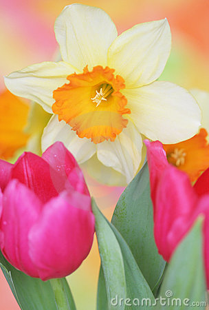 Free Spring Daffodil Royalty Free Stock Photography - 23224797