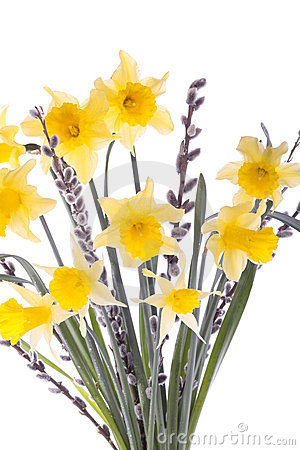 Spring daffodil flowers isolated over white