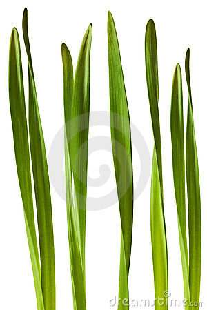 Spring Daffodil Leaf Isolated on White Background
