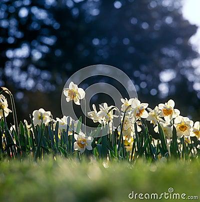 Spring daffodills.