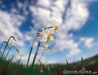 Spring daffodils.