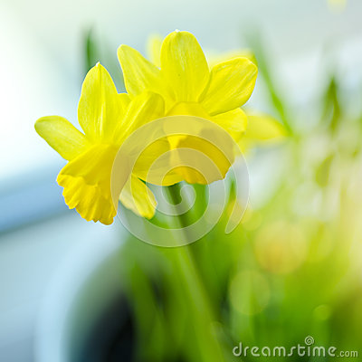Free Spring Daffodils Stock Photos - 29602343