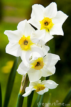Free Spring Daffodils Stock Photo - 5089040