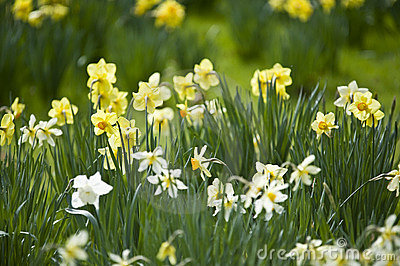 Spring Daffodils Royalty Free Stock Photo - Image: 6489425