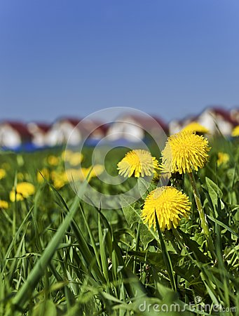 Spring dandelions next to the village