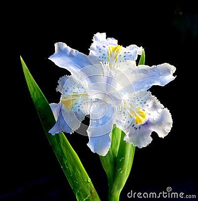 Spring flower-de-luce