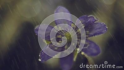 Spring flower nature detail macro closeup. Hepatica nobilis, Anemone, spring flower in rain. Nature detail macro closeup stock video footage