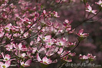 Spring Flowering Pink Dogwood Blossoms