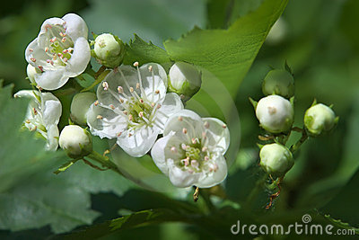 Spring flowering of wild apple-tree branch