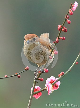 Free Spring Flowers And Birds, Bull-headed Shrike And Cherry Blossoms Stock Photos - 112088113