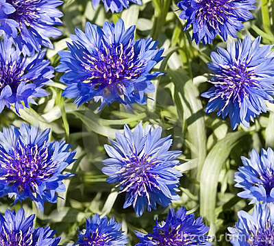 blue flowers wallpaper. lue flower wallpaper.