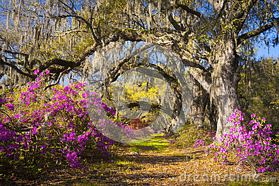 Spring Flowers Charleston SC Azalea Blooms South