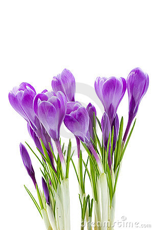 Free Spring Flowers, Crocus, Isolated Royalty Free Stock Images - 18770959