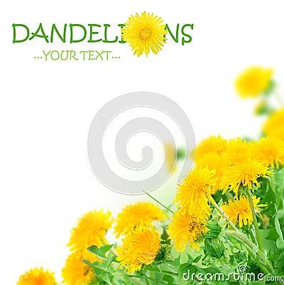 Spring Flowers.Dandelions